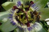 Braun Passionsblume mit Biene
